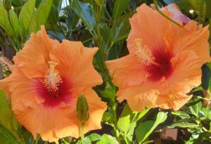 Hibiscus-Strauch - Beginn meiner Morgen-Routinen