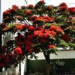 Flamboyant Bäume